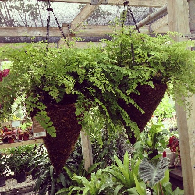 hanging_fern_baskets