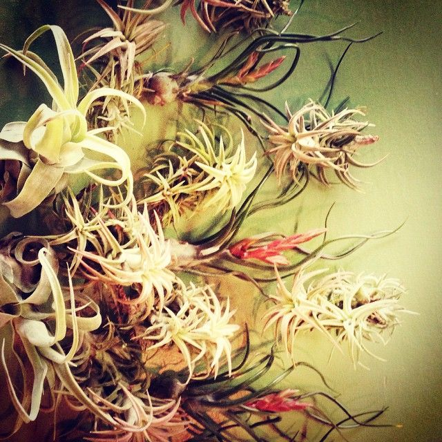 tillandsia_assortment