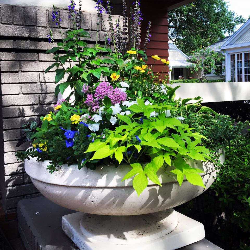 Pretty planter with potato vine